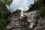 Mulis in der Annapurna Region