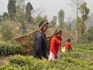 Women plucking tea