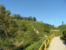 Oldest tea garden