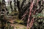 Hinku Region Rhododendron Forest